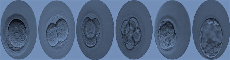 Embryonic-implantation-Girexx-2
